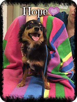 Chihuahua Mix Dog for adoption in Washington, D.C. - Hope