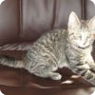 Domestic Shorthair Cat for adoption in Powell, Ohio - Nyla