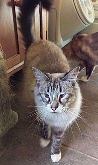 Siamese Cat for adoption in Chino Hills, California - Clara