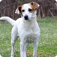 Adopt A Pet :: Caramel - Waldorf, MD