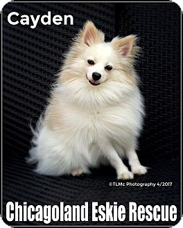 Pomeranian Dog for adoption in Elmhurst, Illinois - Cayden