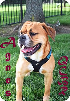 English Bulldog/Beagle Mix Dog for adoption in Cincinnati, Ohio - Agnes