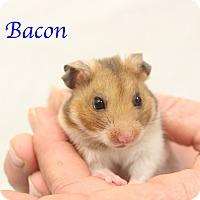Hamster for adoption in Bradenton, Florida - Bacon