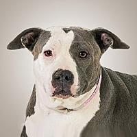 Pit Bull Terrier Mix Dog for adoption in Prescott, Arizona - Molly