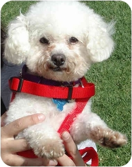 Toy Poodle Puppy for adoption in Los Angeles, California - Caitlin