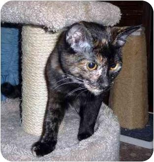 Domestic Shorthair Cat for adoption in Overland Park, Kansas - Amber