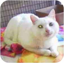 Domestic Shorthair Cat for adoption in El Segundo, California - Rudy