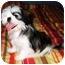 Photo 2 - Shih Tzu Mix Puppy for adoption in Latrobe, Pennsylvania - Romeo