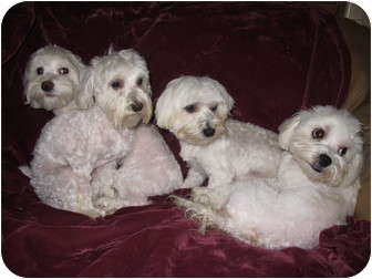 Maltese Dog for adoption in Windham, New Hampshire - Dolce, Armani and Manolo