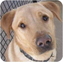 Labrador Retriever Mix Dog for adoption in Kansas City, Missouri - Jojo