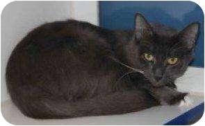 Domestic Shorthair Cat for adoption in Houston, Texas - Darma
