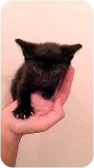 American Shorthair Kitten for adoption in Glendale, California - Mingus