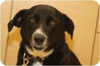 Border Collie/Labrador Retriever Mix Dog for adoption in San Pedro, California - DAIZY