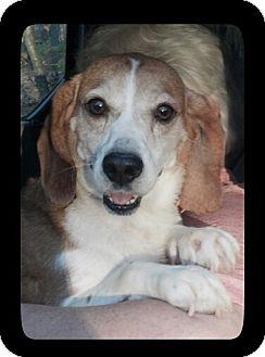 Beagle Dog for adoption in Waldorf, Maryland - Cranberry