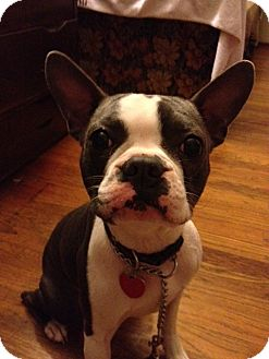 Boston Terrier Dog for adoption in Gustine, California - SPANKY