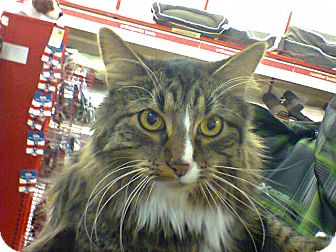 Maine Coon Cat for adoption in Ogden, Utah - Titan