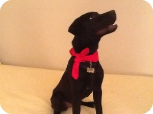 Labrador Retriever Mix Puppy for adoption in Marlton, New Jersey - Sheba- 5 mos. old
