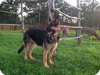 German Shepherd Dog Dog for adoption in Fort Worth, Texas - Rex