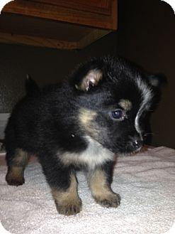 Australian Shepherd Mix Puppy for adoption in Cranford, New Jersey - BABE