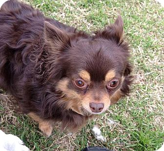 Chihuahua Mix Dog for adoption in Norman, Oklahoma - Coco