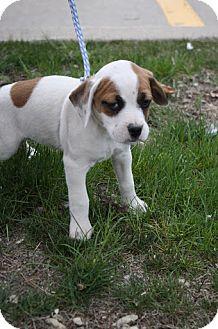 Beagle/English Bulldog Mix Puppy for adoption in Broomfield, Colorado - Bianca