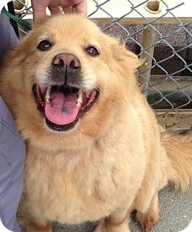 Golden Retriever Mix Dog for adoption in Knoxville, Tennessee - Hazel