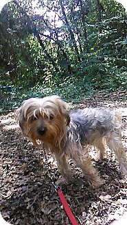 Yorkie, Yorkshire Terrier Mix Dog for adoption in Waldorf, Maryland - Mayweather