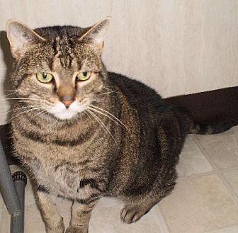 Domestic Shorthair Cat for adoption in Berkeley Springs, West Virginia - Tabitha