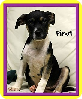 Boxer Mix Puppy for adoption in Covington, Louisiana - Pinot