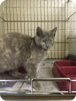 Domestic Shorthair Cat for adoption in Henderson, North Carolina - Blaire