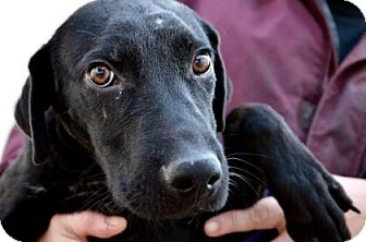 Labrador Retriever Mix Dog for adoption in Fort Smith, Arkansas - Chester
