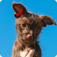 Adopt A Pet :: *Latte - PENDING - Westport, CT