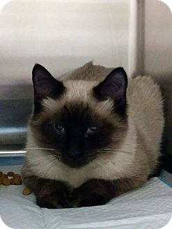 Siamese Cat for adoption in THORNHILL, Ontario - TIRAMISU