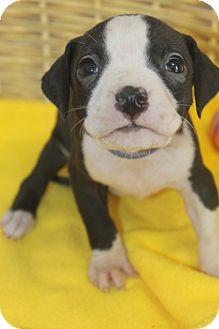 American Bulldog Mix Puppy for adoption in Waldorf, Maryland - Winston