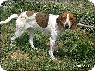 Coonhound/Treeing Walker Coonhound Mix Dog for adoption in Williston Park, New York - Bonnie