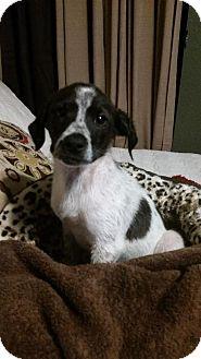 German Shorthaired Pointer Mix Puppy for adoption in Von Ormy, Texas - MOOSE