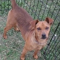 Miniature Pinscher Mix Dog for adoption in Beeville, Texas - Winnie
