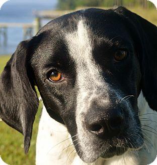 Hound (Unknown Type)/Labrador Retriever Mix Dog for adoption in Oriental, North Carolina - Gibbs of New Leash on Life