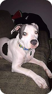 American Pit Bull Terrier Mix Puppy for adoption in Baltimore, Maryland - Jill