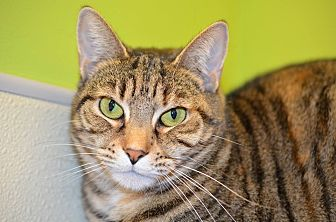 Domestic Shorthair Cat for adoption in Westbury, New York - Annabelle