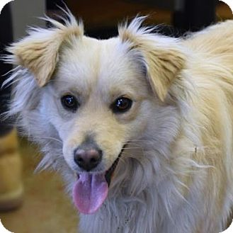 Spaniel (Unknown Type)/Pomeranian Mix Dog for adoption in Denver, Colorado - Muppet
