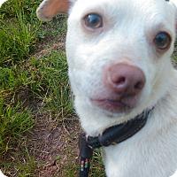 Adopt A Pet :: Smiles - Lebanon, CT