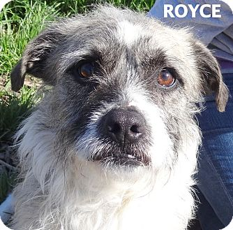 Terrier (Unknown Type, Medium) Mix Dog for adoption in Lapeer, Michigan - Royce-CUTE!