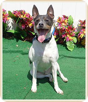 Rat Terrier Dog for adoption in Marietta, Georgia - JACKSON (R)