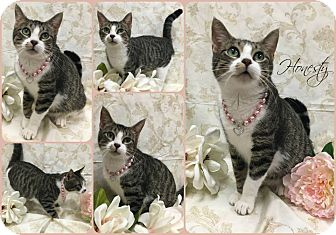 Domestic Shorthair Cat for adoption in Joliet, Illinois - Honesty