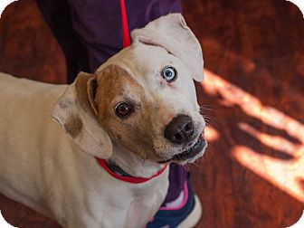Boxer/Hound (Unknown Type) Mix Dog for adoption in Buffalo, New York - Darcie Blue Eye