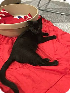 Domestic Shorthair Cat for adoption in Turnersville, New Jersey - Fonzie