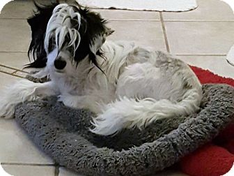 Chinese Crested Dog for adoption in Riverside, California - DALTON