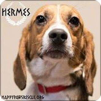 Beagle Dog for adoption in South Plainfield, New Jersey - Hermes