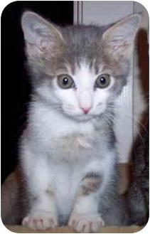 Domestic Shorthair Kitten for adoption in Sacramento, California - Gage